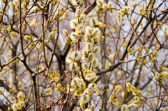 Blooming pussy willow branches Stock Image