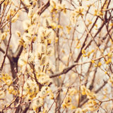 Yellow blooming pussy willow branches Royalty Free Stock Images