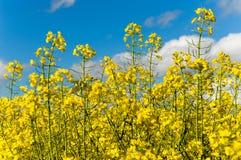 Yellow blooming rape Royalty Free Stock Photo
