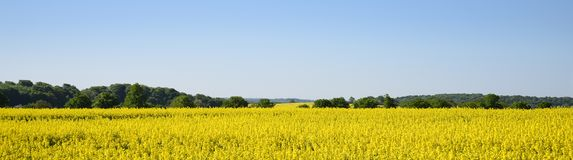 Yellow blooming rapeseed field and forest against the clear blue. Sky, wide landscape in panoramic banner format as a webpage background, copy space stock photography