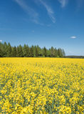 Yellow blooming rapeseed field on a forest Stock Photo