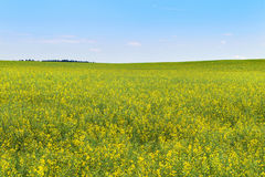 Yellow blooming rapeseed field Stock Photos