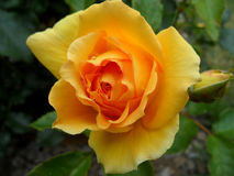Yellow Blooming Rose with Dew Drops and a little flower bud over the Green Leaves Stock Photo
