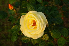 Yellow blooming rose with leafs Stock Photo