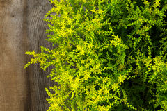 Yellow Blooming sedum small star shaped flowers Rockery Garden P Stock Photography