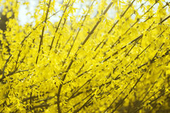 Yellow blooming shrub, bush, blossom, spring in botanical garden, nature background Stock Photos
