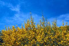 Yellow, blooming spring flowers against the sky Stock Image