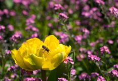 Yellow tulip in the garden with little purple flowers and wasp. Yellow blooming tulip flower in the garden full of green grass and little purple flowers, and a stock images
