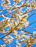 Yellow blooming willow Stock Photography