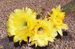 Yellow blooms of the bonker hedgehog cactus Stock Photos