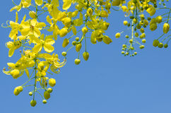 Yellow Bloosom of Cassia Fistula Flower. Yellow Blossom of Cassia Fistula (or Golden Shower Tree) Is Blooming On Season of Summer Royalty Free Stock Images