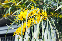 Yellow blossom of Acacia tree close up in spring Royalty Free Stock Image