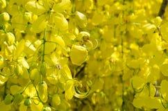 Yellow Blossom of Cassia Fistula Flower. Yellow Blossom of Cassia Fistula (or Golden Shower Tree) Is Blooming On Season of Summer Royalty Free Stock Photos