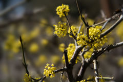 Yellow blossom at cornelian cherry dogwood Cornus mas, an earl. Y spring flowering shrub or hedge plant for the natural garden, nectar source, close up with Royalty Free Stock Photos