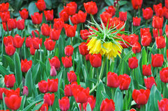 Yellow blossom of crown imperial in between red tulips Royalty Free Stock Image