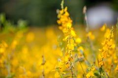 Yellow blossom. Yellow field blossom Royalty Free Stock Photo