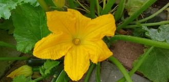 Yellow blossom flower of the courgette zucchin plant which will grow into vegetable royalty free stock image