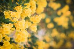 Yellow blossom flower wall blur background beautiful nature with copy space.  stock photo