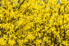 Yellow Blossom Flowers In Spring Royalty Free Stock Photos