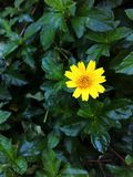 Yellow blossom Royalty Free Stock Photography