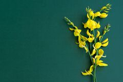 Free Yellow Blossom Gorse On The Green-blue Background Royalty Free Stock Photography - 181794927