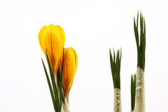 Yellow blossom of spring flowers crocuses and leaf of crocuses on white background Stock Image