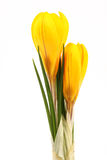 Yellow blossom of spring flowers crocuses on white background Royalty Free Stock Photos