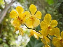 Yellow blossom vanda orchid Stock Photo