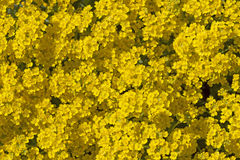 Yellow blossoming Aurinia Saxatile flowers Royalty Free Stock Photography