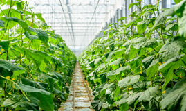 Yellow blossoming cucumber plants in a modern nursery Stock Image
