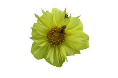 Yellow blossoming flower and bees Stock Photos