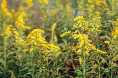 Yellow blossoming Goldenrod plants in the wild nature from close Royalty Free Stock Photography