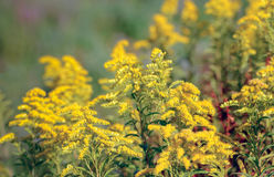 Yellow blossoming Goldenrod plants in the wild nature from close Stock Photos