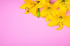 Yellow blossoming lily buds. On a pink background Royalty Free Stock Images