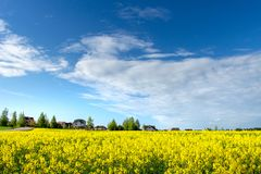 Yellow blossoming Rapeseed field and blue sky. Countryside scene. Summer agricultural meadow near rural village. Yellow blossoming Rapeseed field and blue sky royalty free stock image