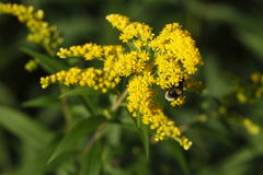 Yellow blossoming summer flower. Canadian Goldenrod Royalty Free Stock Images
