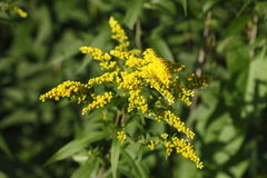 Yellow blossoming summer flower. Canadian Goldenrod Stock Photos