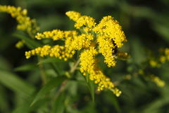 Yellow blossoming summer flower. Canadian Goldenrod Royalty Free Stock Image
