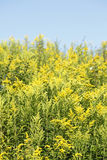 Yellow blossoming summer flowers. Canadian Goldenrod Stock Photography