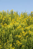 Yellow blossoming summer flowers. Canadian Goldenrod Stock Images