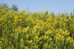Yellow blossoming summer flowers. Canadian Goldenrod Royalty Free Stock Photos