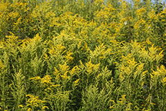 Yellow blossoming summer flowers Royalty Free Stock Photos