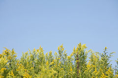 Yellow blossoming summer flowers. Canadian Goldenrod Royalty Free Stock Images