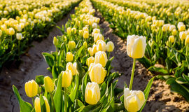 Yellow blossoming tulips in early morning sunlight Stock Image
