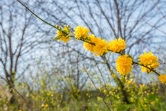 Yellow blossoming twig of a Kerria japonica shrub Royalty Free Stock Image