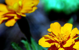 Yellow blossoms. A closeup of a yellow flower at the bottom right corner of the picture. Another flower can be seen in the background Royalty Free Stock Image
