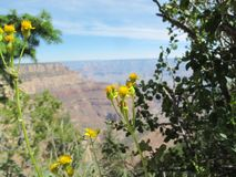 Yellow Blossoms Against a Blurred Grand Canyon Vista royalty free stock photos