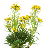 Yellow blossoms of the Erysimum Cheiry plant. Royalty Free Stock Images