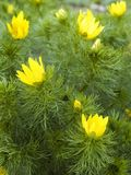 Yellow flowers of spring pheasant´s eye. Yellow blossoms and feathery foliage of adonis vernalis, a flowering plant blooming in spring Royalty Free Stock Image