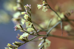 Yellow blossoms of a flower from genus Limonium Stock Photography